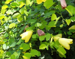 bauhinia-tomentosa-yellow-orchid-
